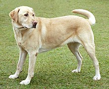 labrador retriever wikipedia the free encyclopedia labrador retriever 220x181
