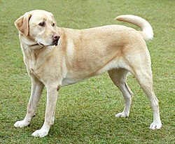 Yellow Labrador Retriever, the most registered breed of 2009 with the AKC.Other images of dogs