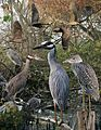 Yellow crowned night heron From The Crossley ID Guide Eastern Birds.jpg