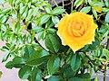 Yellow rose sri lanka.jpg
