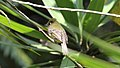 Yellowish Flycatcher (Empidonax flavescens) (5783813870).jpg