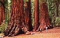 Yosemite National Park, in the Mariposa Grove of Big Trees (NBY 3882).jpg