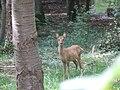 Young Roe deer - geograph.org.uk - 238542.jpg