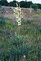 Yucca coahuilensis fh 1184.45 TX B.jpg