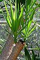 Yucca gigantea in Jardin des Plantes de Toulouse 01.jpg