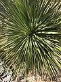Yucca thompsoniana at Fairchild Tropical Botanic Garden.jpg