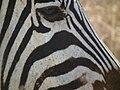 Zebras in Tanzania 4307 Nevit.jpg