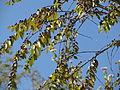 Ziziphus oenoplia-Fruits.JPG