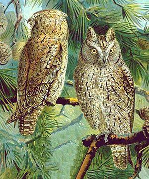 Eurasian scops owl - Image: Zwergohreulen