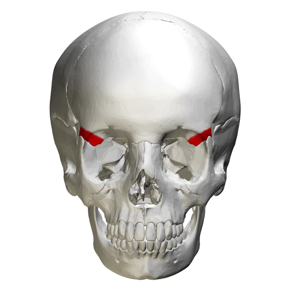 Description Zygomatic process of frontal bone - skull - anterior view ...