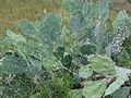 """Cactus of Salem Tamil Nadu"".JPG"