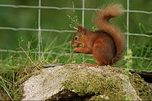 "This red squirrel's mouth is showing the first signs of potential ""Squirrelpox virus"" infection"