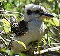(1)Kookaburra 050.jpg