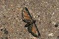 (1838) Tawny Speckled Pug (Eupithecia icterata) (3825675478).jpg