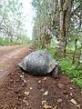 (Chelonoidis nigra) El Chato Reserve, Santa Cruz Galapagos )pic. v.JPG