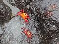 (Grapsus grapsus) Puerto Ayora Galápagos Islands pic. a7.JPG
