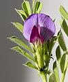 (MHNT) Vicia sativa - flower.jpg