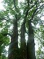 Багатовіковий дуб «Три брати», Прилуцький район, сел. Линовиця 74-241-5027 04.jpg