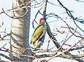 Зелёный дятел - Picus viridis - Зелен кълвач - Grünspecht (23978539748).jpg