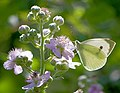 Капустница - Large White (Cabbage Butterfly) - Pieris brassicae - Зелева пеперуда - Grosse Kohlweissling (31264669035).jpg
