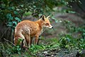 Лисиця у лісі.jpg