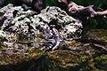 Обыкновенный илистый прыгун (Periophthalmus barbarus) 2.JPG