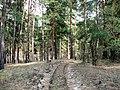 Просёлочная дорога в сосновом бору (ENE) - panoramio.jpg