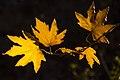 برگ زرد-پاییز-yellow leaves-falling leaves 14.jpg
