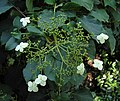 冠蓋繡球 Hydrangea anomala -阿姆斯特丹植物園 Hortus Botanicus, Amsterdam- (9252395297).jpg