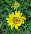 山金車屬 Arnica chamissonis -維也納大學植物園 Vienna University Botanical Garden- (28028859714).jpg