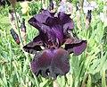 德國鳶尾-高大型 Iris germanica Superstition -巴黎植物園 Jardin des Plantes, Paris- (9261992786).jpg