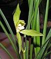 春劍素花 Cymbidium longibracteatum 'Plain' -香港沙田國蘭展 Shatin Orchid Show, Hong Kong- (12304546516).jpg