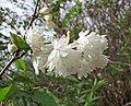 溲疏屬 Deutzia x magnifica -巴黎植物園 Jardin des Plantes, Paris- (9226996405).jpg