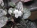 紫海棠 Hemigraphis alternata -倫敦植物園 Kew Gardens, London- (9237451777).jpg