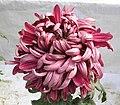 菊花-荷花型 Chrysanthemum morifolium Lotus-ribbon-series -香港圓玄學院 Hong Kong Yuen Yuen Institute- (9207628726).jpg