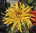 菊花-龍衣 Chrysanthemum morifolium 'Imperial Clothing' -中山小欖菊花會 Xiaolan Chrysanthemum Show, China- (12129358543).jpg