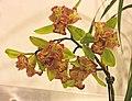 蕙蘭 Cymbidium Green Valley Emerald 'Three Lip' -台南國際蘭展 Taiwan International Orchid Show- (39964907225).jpg