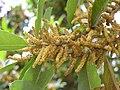 銀柴(大沙葉)-雄花 Aporusa dioica (Aporusa chinensis) -香港馬灣公園 Ma Wan Park, Hong Kong- (9213356189).jpg