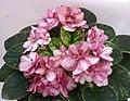 非洲紫羅蘭 Saintpaulia Fairy Castle -香港花展 Hong Kong Flower Show- (33775986926).jpg