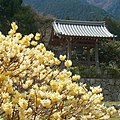 高天寺橋本院のミツマタの花 Oriental paperbush in Hashimoto-in 2012.4.07 - panoramio.jpg