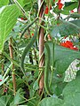-2019-07-19 Runner bean plants with young beans (Phaseolus coccineus), Trimingham, Norfolk (1).JPG