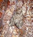 -2333- Large Nutmeg (Apamea anceps) (27717078057).jpg