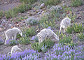 03 mt goat survey nwwd odfw (7490419562).jpg