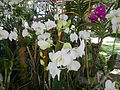 05593jfMidyear Orchid Exhibits Quezon Cityfvf 21.JPG