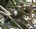 060328 green-barred woodpecker 2 CN - Flickr - Lip Kee.jpg