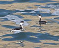 097 - HORNED GREBE (12-25-11) point arena, ca (8720994491).jpg
