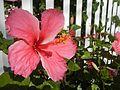 0985jfHibiscus rosa sinensis Linn White Pinkfvf 20.jpg