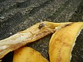 1400Common houseflies eating Bananas 13.jpg