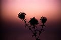 149Zypern Paphos Sonnenuntergang Distel (13903834997).jpg