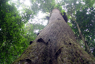 Neobalanocarpus - Chengal tree, Peninsula Malaysia, 2005